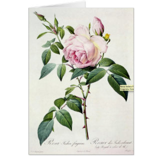 Pink Rose Pierre-Joseph Redoute Greeting Card