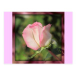 Pink Rose Postcard