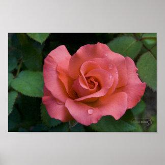 Pink Rose - Raleigh, North Carolina Poster