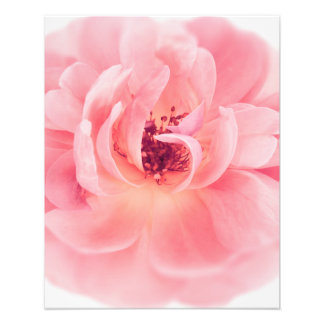 Pink Rose White Roses Flower Flowers Floral Photographic Print