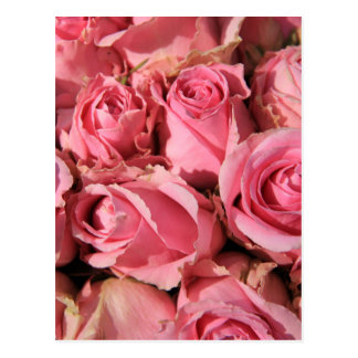 Pink roses by Therosegarden Postcard