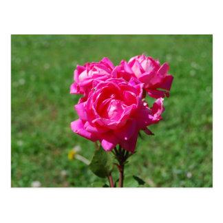 Pink Roses Post Card