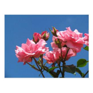 Pink Roses Postcards