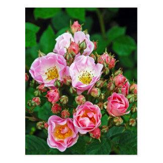 Pink roses print postcard