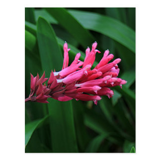 Pink salvia flower postcard
