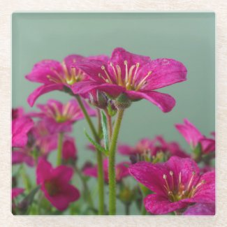 Pink Saxifrage Floral Glass Coaster