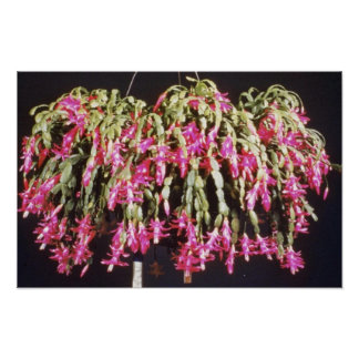 Pink Schlumbergera Bridgesii (Christmas Cactus) fl Print