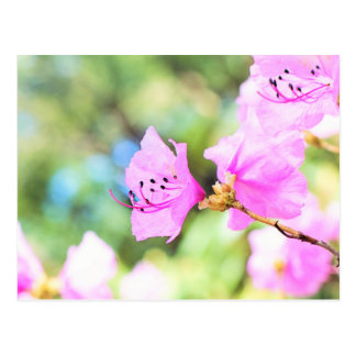 Pink Spring Blossoms Postcard