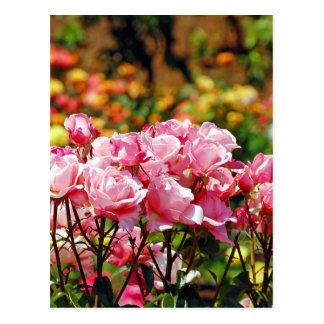 Pink spring rose garden print postcard