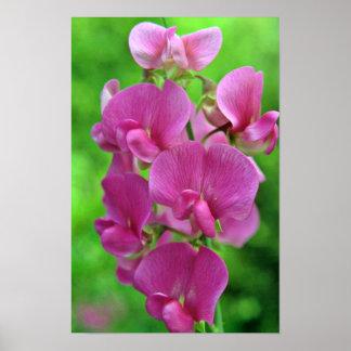 Pink Sweet Pea flowers Print
