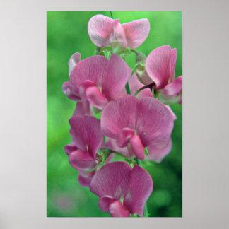 Pink Sweet Pea flowers Posters