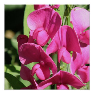 Pink Sweet Pea Poster