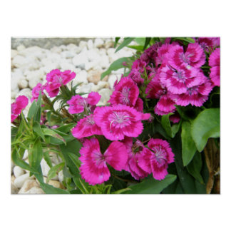 Pink Sweet William Dianthus Flower Poster Print