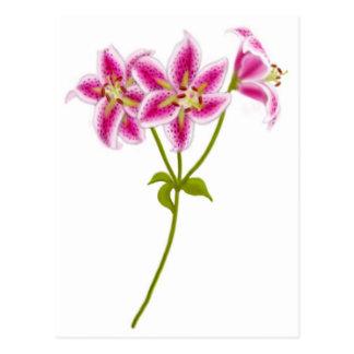 Pink Tiger Lily Postcard