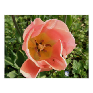 Pink Tulip Macro Print