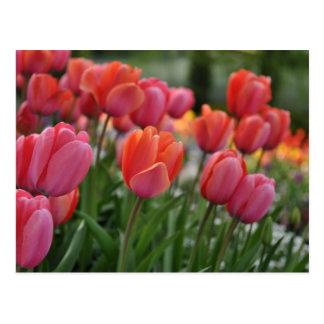 Pink Tulip Postcard