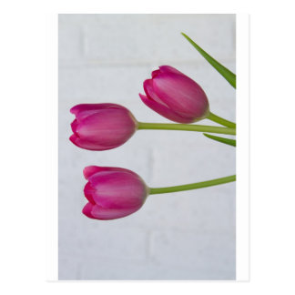 Pink Tulips and White Brick Wall Post Card