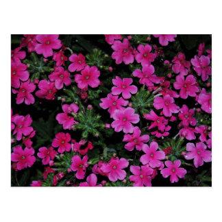 Pink Verbena Flowers Postcard