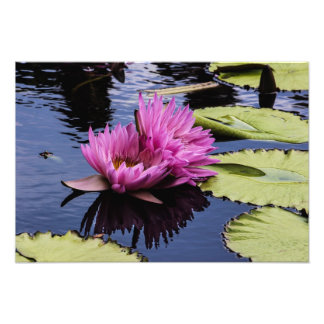 Pink Water Lilies Art Photo