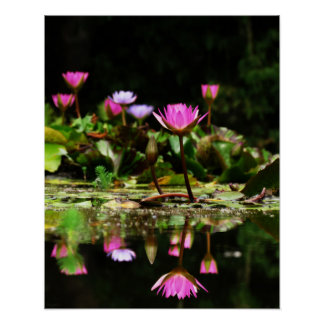 Pink Water Lilies Photo Print