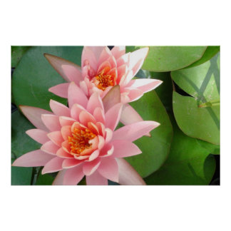 Pink Water Lilies Splendor Posters