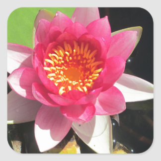 Pink water Lilly photograph Square Sticker