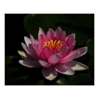 Pink Water Lily Blossom Poster