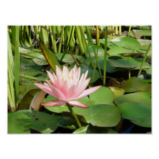 Pink Water Lily Blossom Print