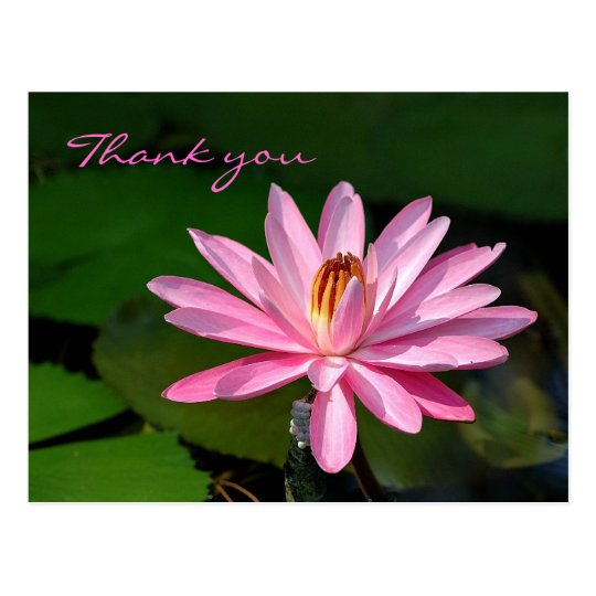pink water lily Thank you Postcard