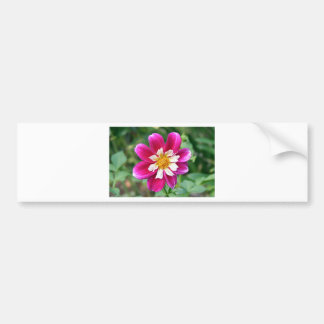 Pink & white Dahlia flower in bloom Bumper Sticker