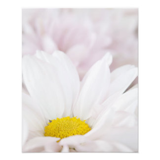 Pink White Daisy Flower Daisies Flowers Floral Photographic Print