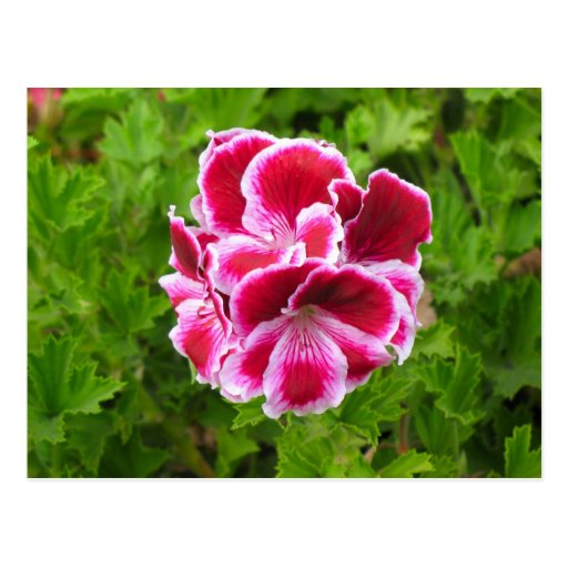 pink white flower post cards