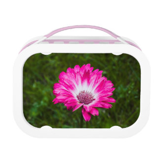 Pink & White Gerbera Daisy in Bloom Lunch Boxes