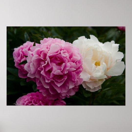 Pink & White Peonies | Rosa & Weiße Pfingstrosen Poster