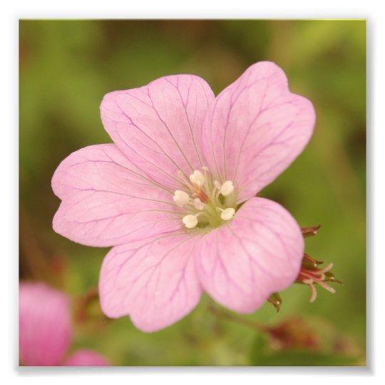 Pink Wild Geranium Photo Print