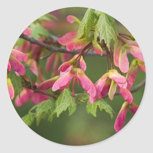 Pink Winged Sycamore Seeds - Acer pseudoplatanus Round Sticker