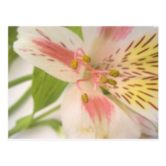 Pink yellow and white lily postcard