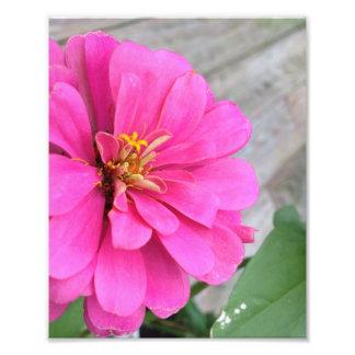 Pink Zinnia Art Photo