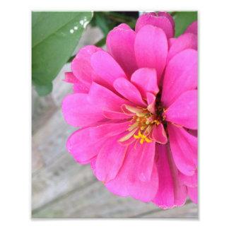 Pink Zinnia Photo