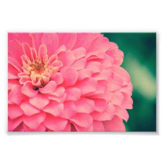 Pink Zinnia Photograph