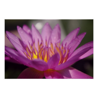 Pinky Lotus Blossom Poster