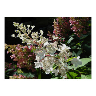 Pinky Winky Hydrangea Flowering Shrub Poster