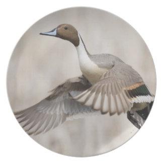Pintail Drake Taking Flight Plate