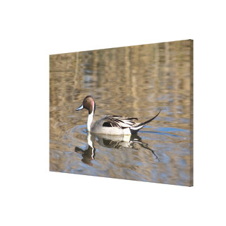 Pintail Duck Swims In A Pond Canvas Print