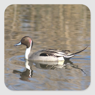 Pintail Duck Swims In A Pond Square Sticker