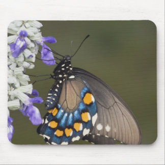 Pipevine Swallowtail, Battus philenor, adult Mouse Mat