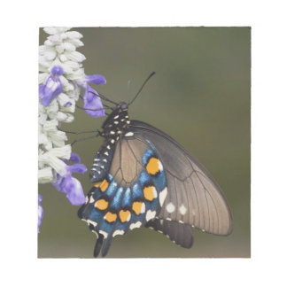 Pipevine Swallowtail, Battus philenor, adult Notepad