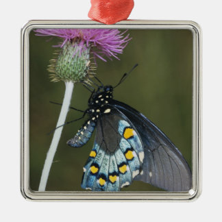 Pipevine Swallowtail, Battus philenor, adult on Christmas Ornament