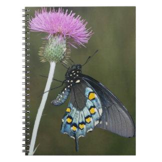 Pipevine Swallowtail, Battus philenor, adult on Notebook