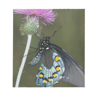 Pipevine Swallowtail, Battus philenor, adult on Notepad